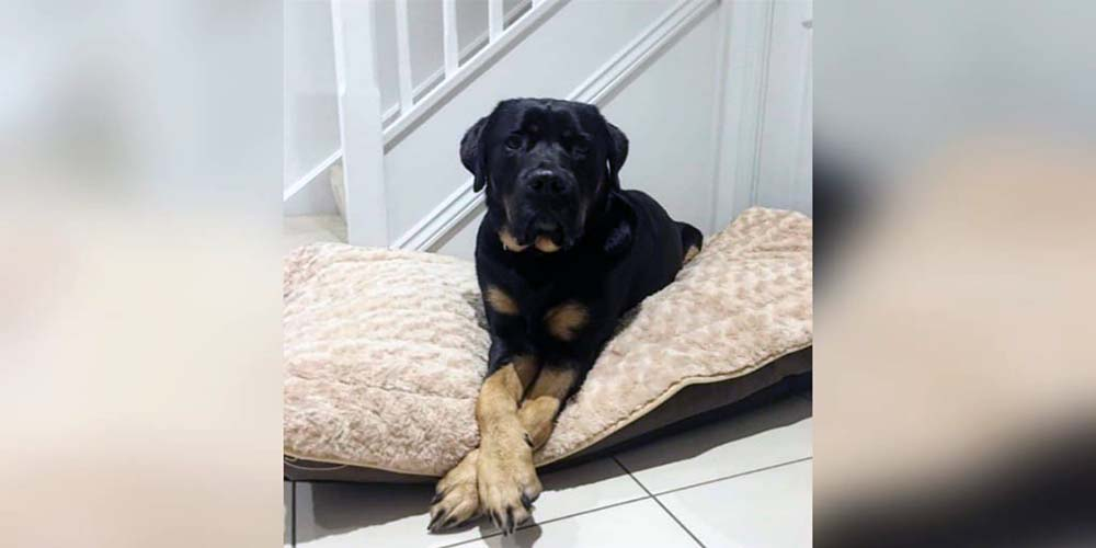 Rottweiler Lab Mix Facts