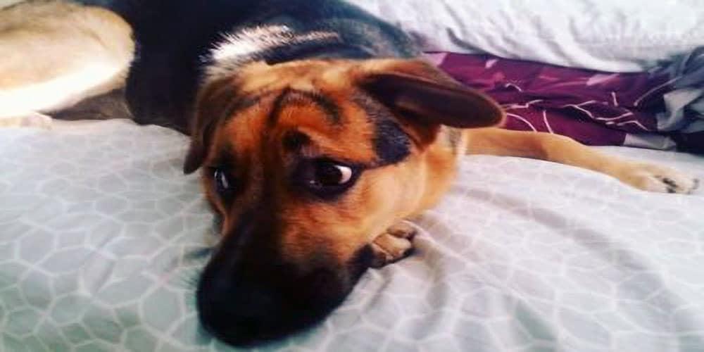 Beagle German Shepherd Mix Facts