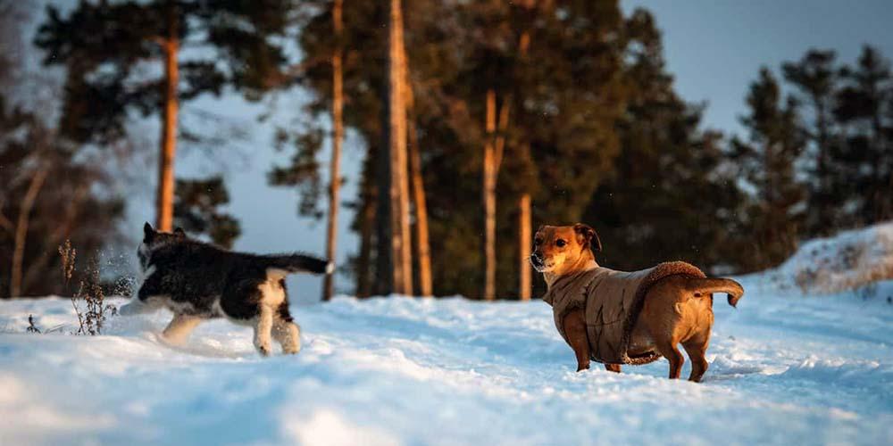 Dachshund Husky Mix: The Best of Both Worlds