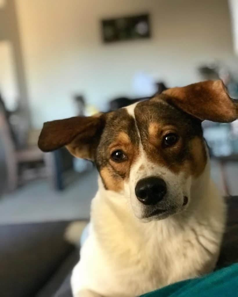 Beagle Akita Mix