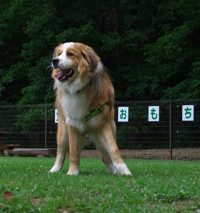 Bernese Mountain Dog Akita Mix