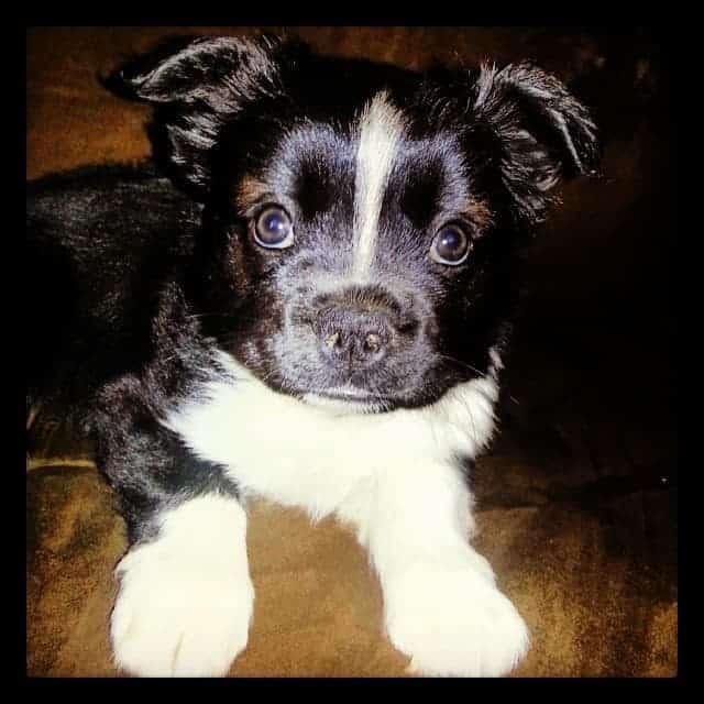 Husky Boston Terrier Mix