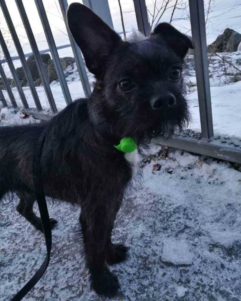 Poodle Boston Terrier Mix