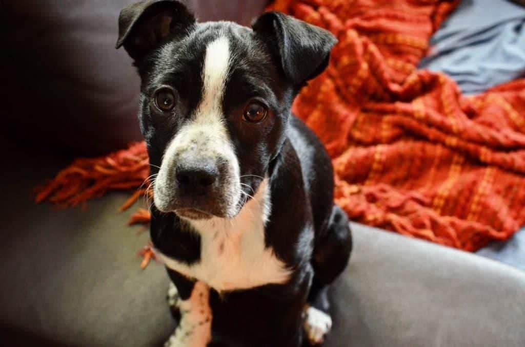 Border Collie Boston Terrier Mix