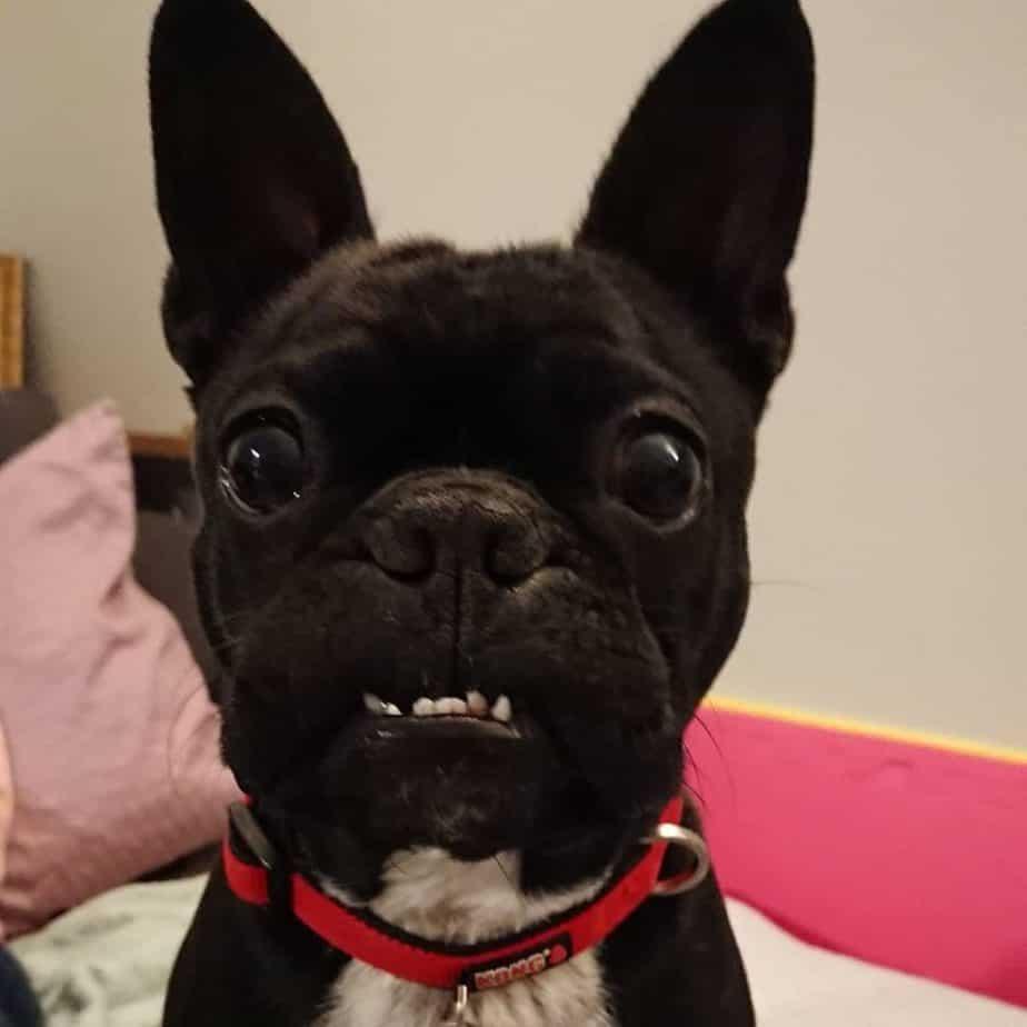 PugBoston Terrier Mix