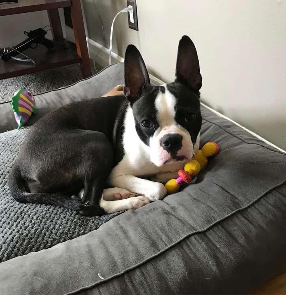 Pitbull Boston Terrier Mix