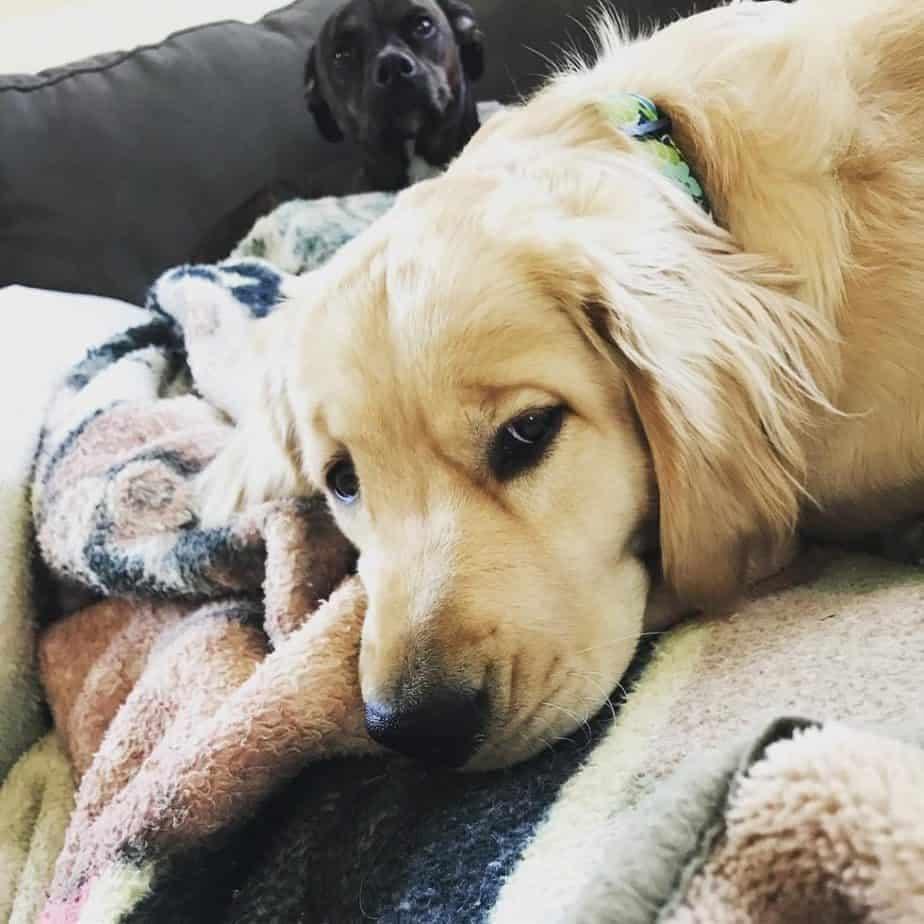 Doberman Boston Terrier Mix