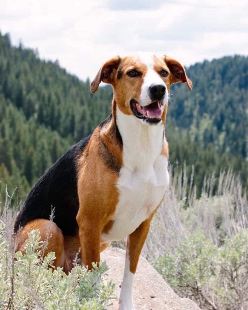 Bull Mastiff Greyhound Mix