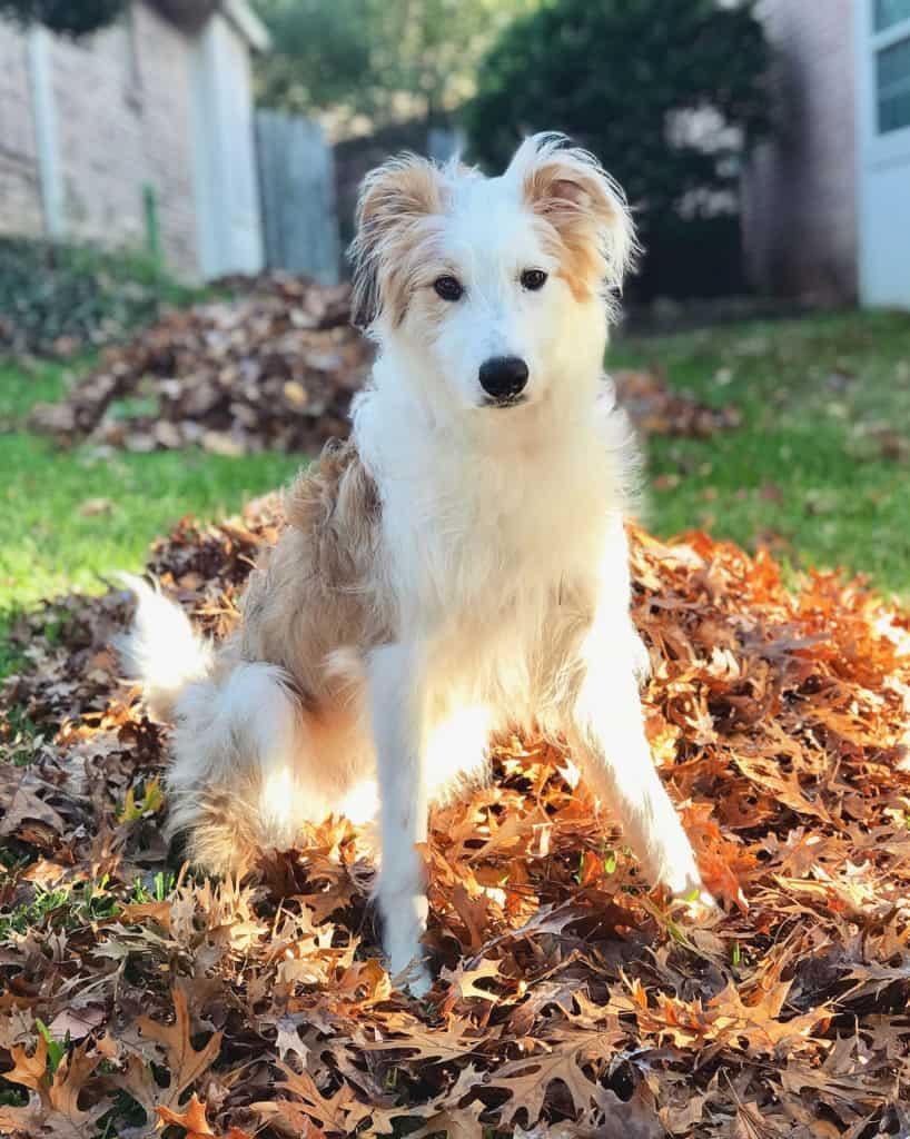 Pug Greyhound Mix