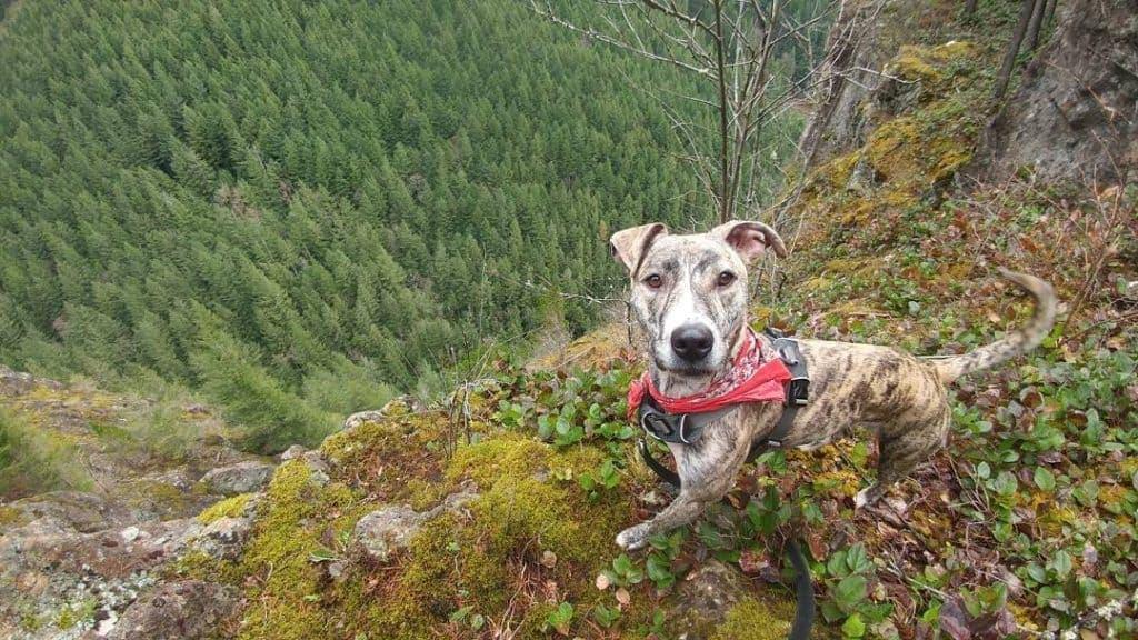 Catahoula Greyhound Mix