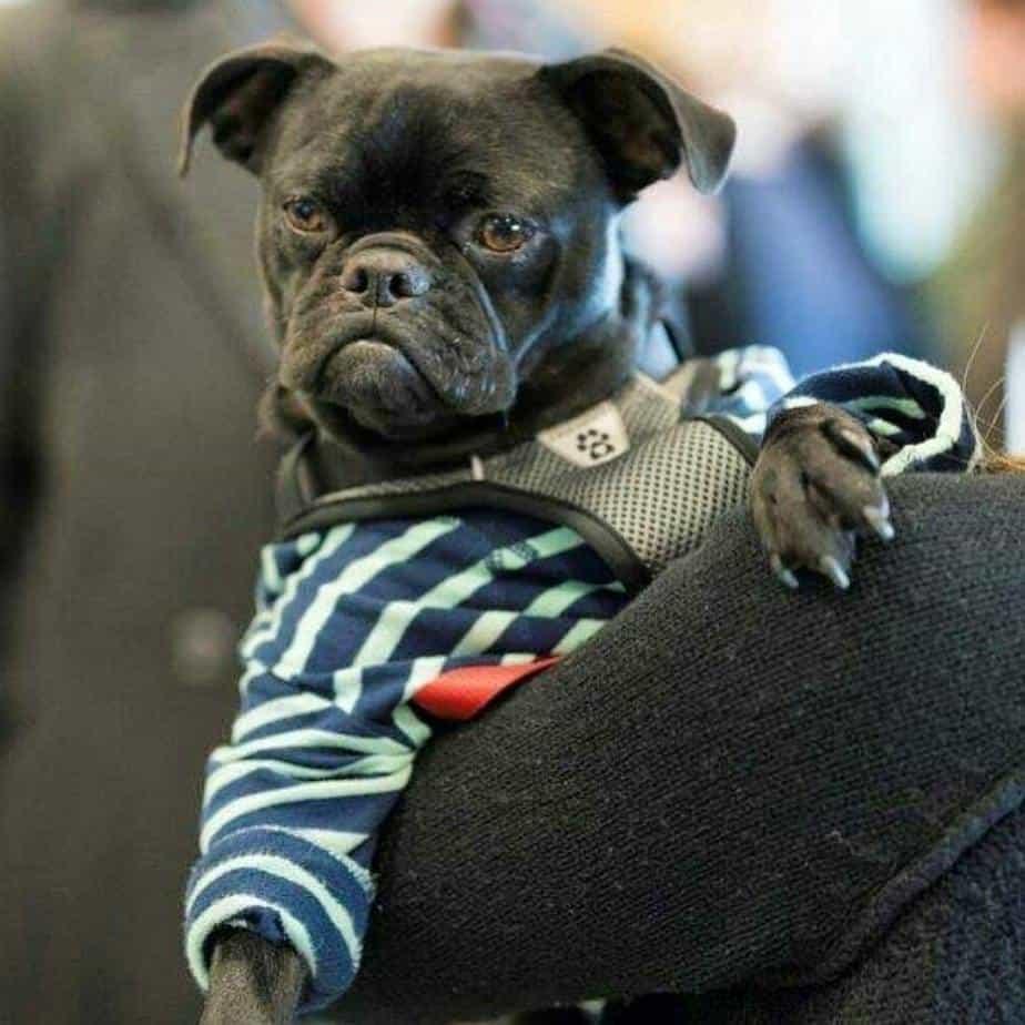 Pug Boxer Mix
