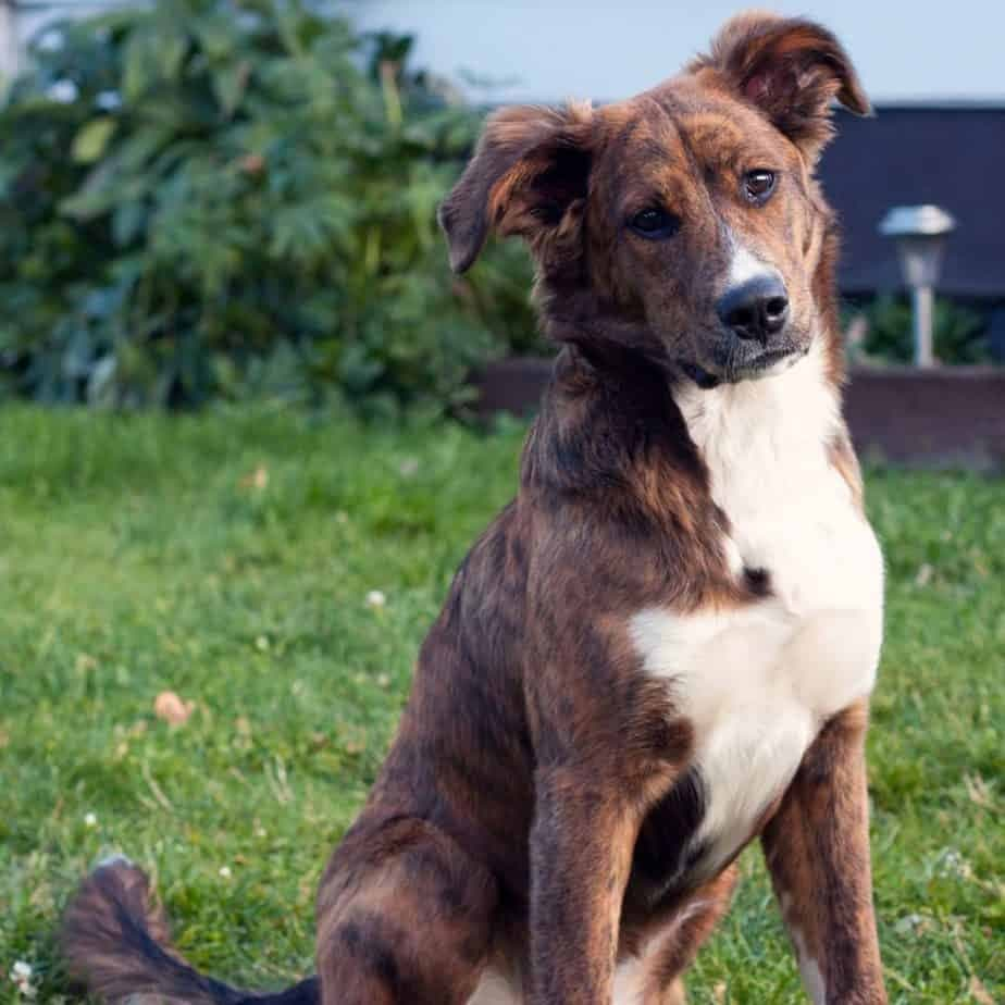 Bernese Mountain Dog Boxer Mix