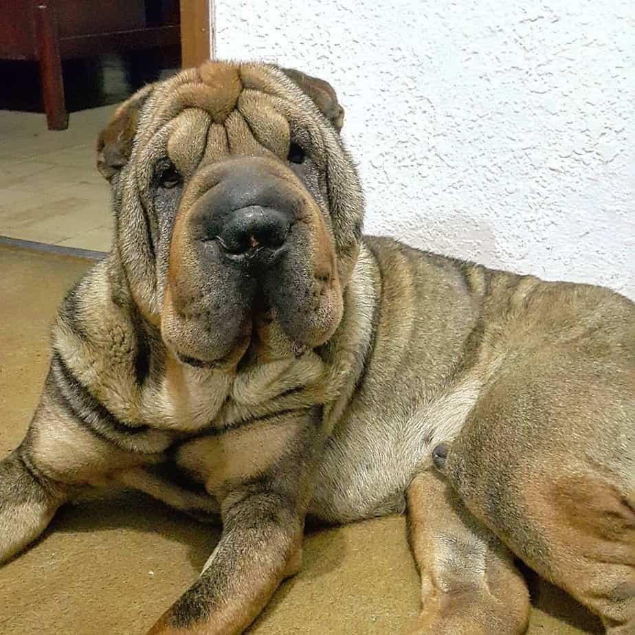 Shar PeiAmerican Bulldog Mix