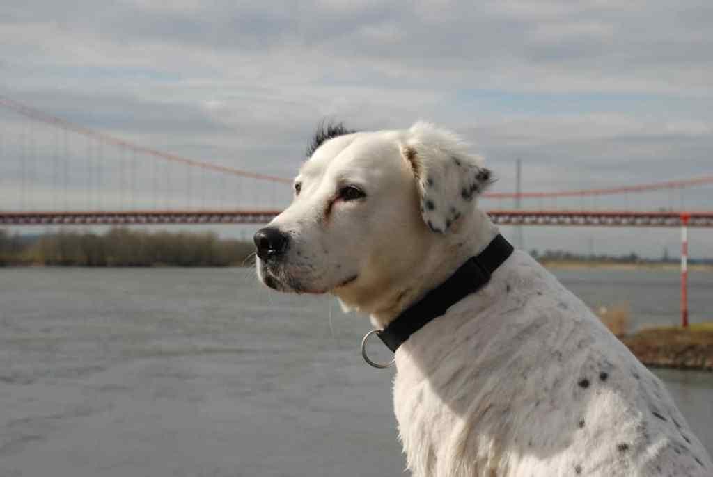Golden RetrieverAmerican Bulldog Mix