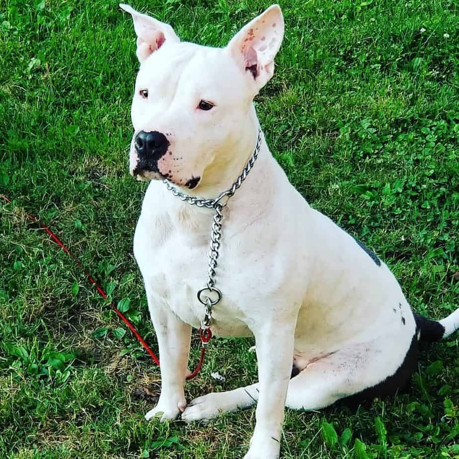 PitbullAmerican Bulldog Mix
