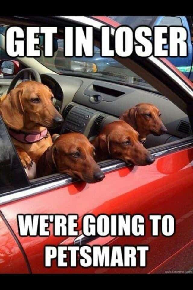 Weiner Dog Meme - Get in loser we're going to petsmart