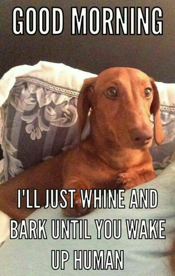 Weiner Dog Meme - Good morning I'll just whine and bark until you wake up human