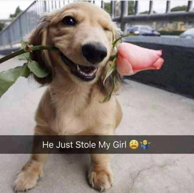 Weiner Dog Meme - He just stole my Girl