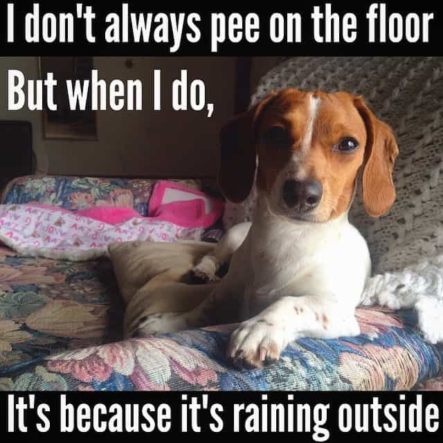 Weiner Dog Meme - I don't always pee on the floor But when I do It's because it's raining outside