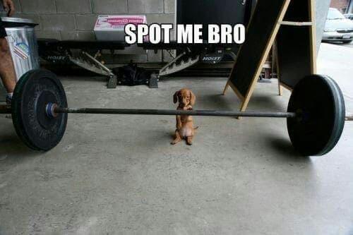Weiner Dog Meme - Spot me bro