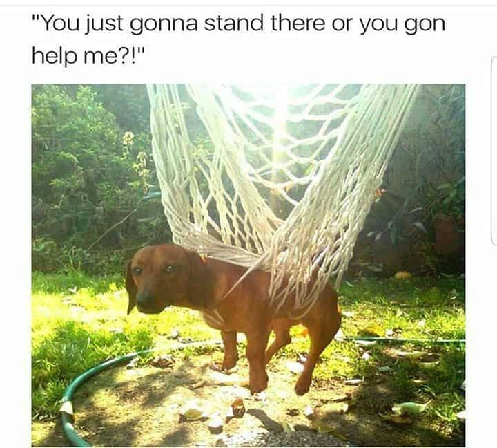 Weiner Dog Meme - You just gonna stand there or you gon help me