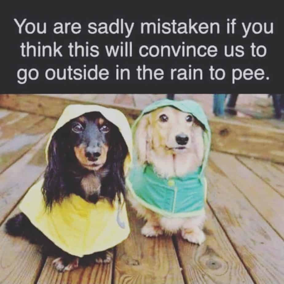 Weiner Dog Meme - You are sadly mistaken if you think this will convince us to go outside in the rain to pee.
