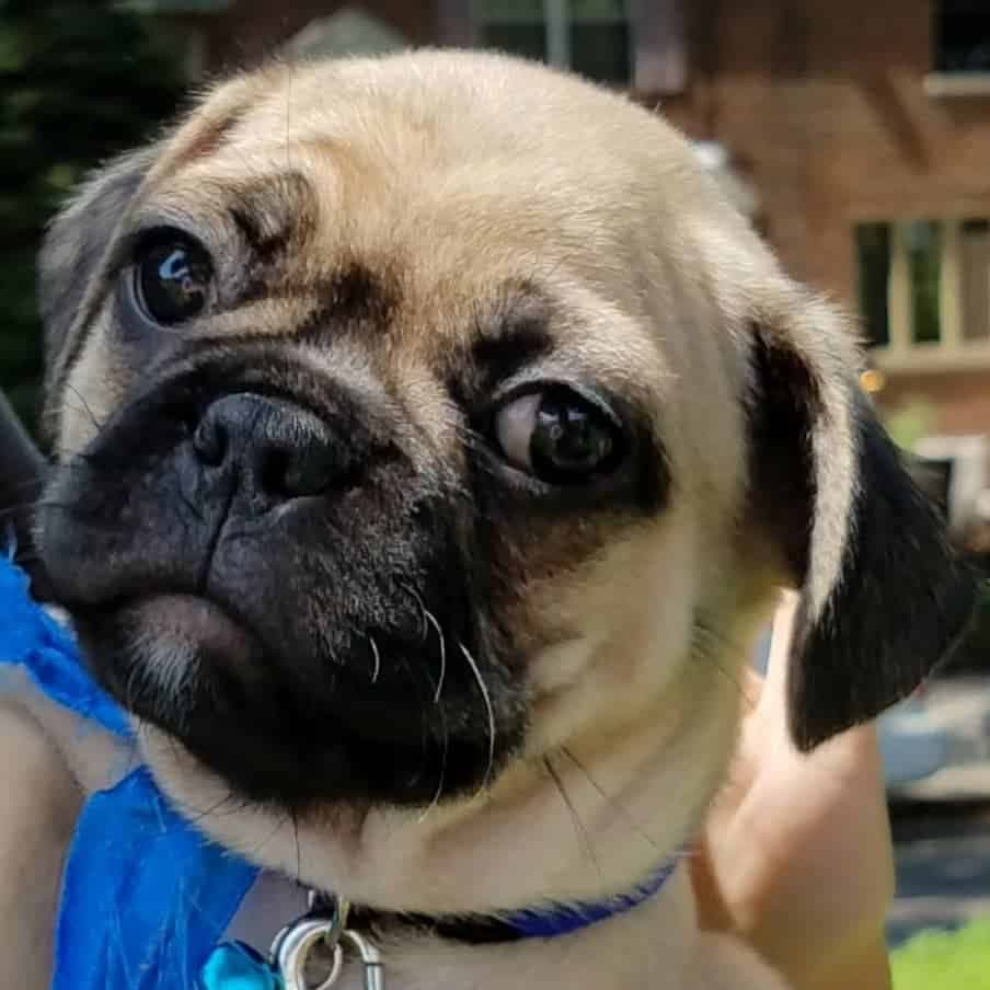 Pug French Bulldog Mix