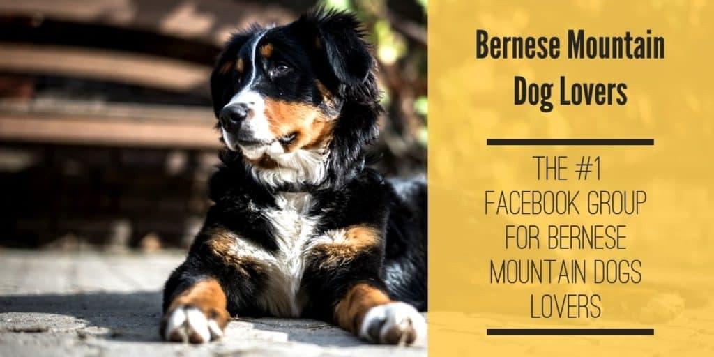 bernese mountain dog facebook group