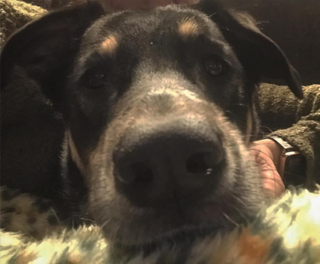 Australian Shepherd Bernese Mountain Dog