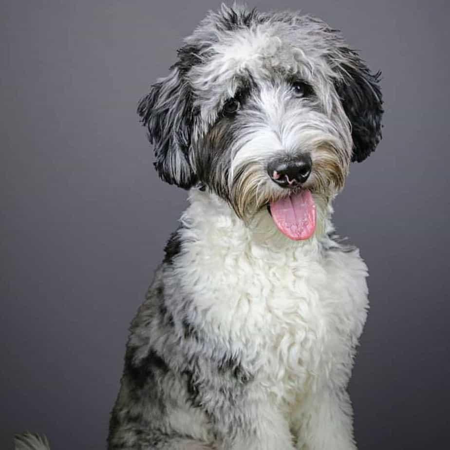 Australian Shepherd mixed with Poodle