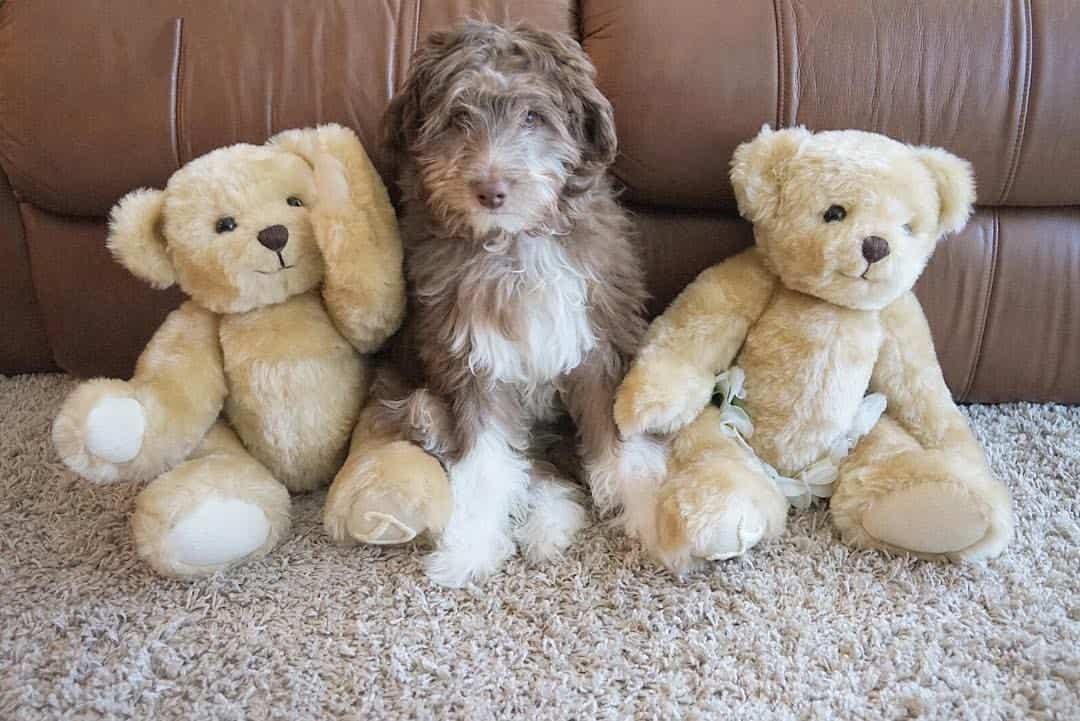 Australian Shepherd Poodle