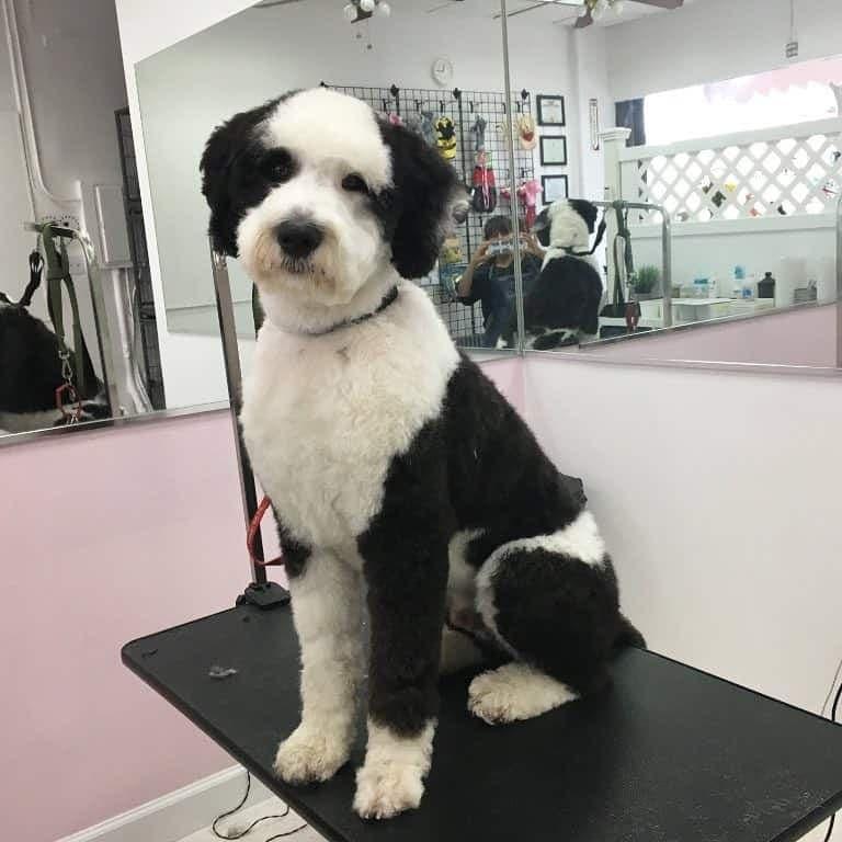 Poodle Australian combined with Shepherd