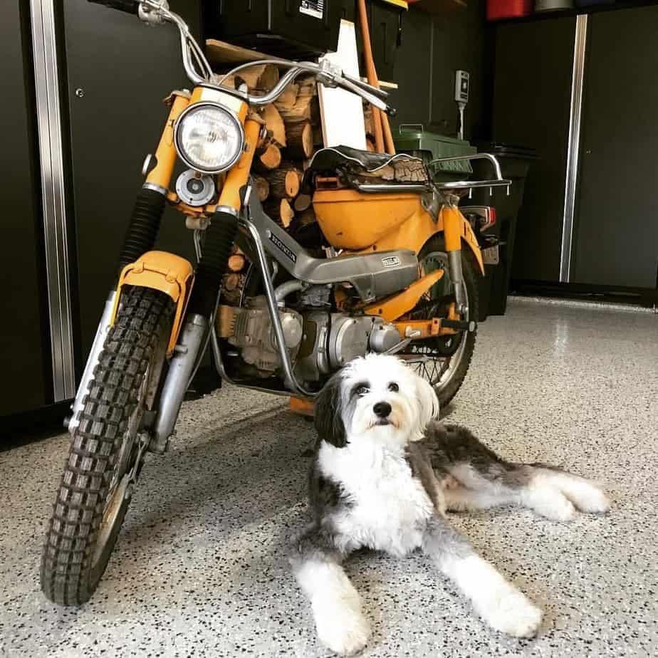 Australian Shepherd combined with Poodle