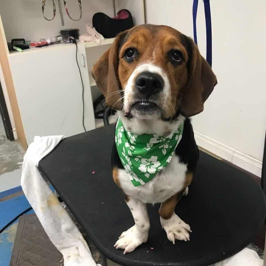Basset Hound Beagle mix