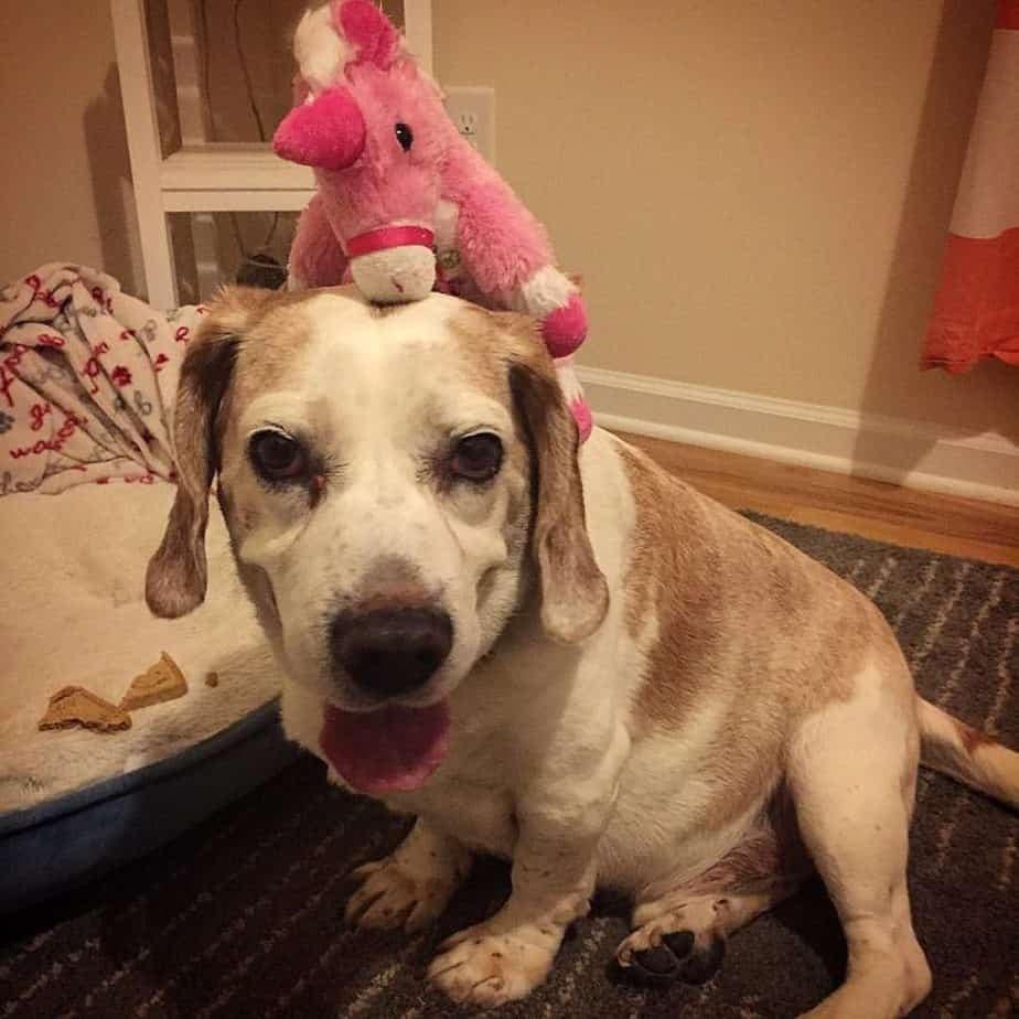 Beagle Basset Hound