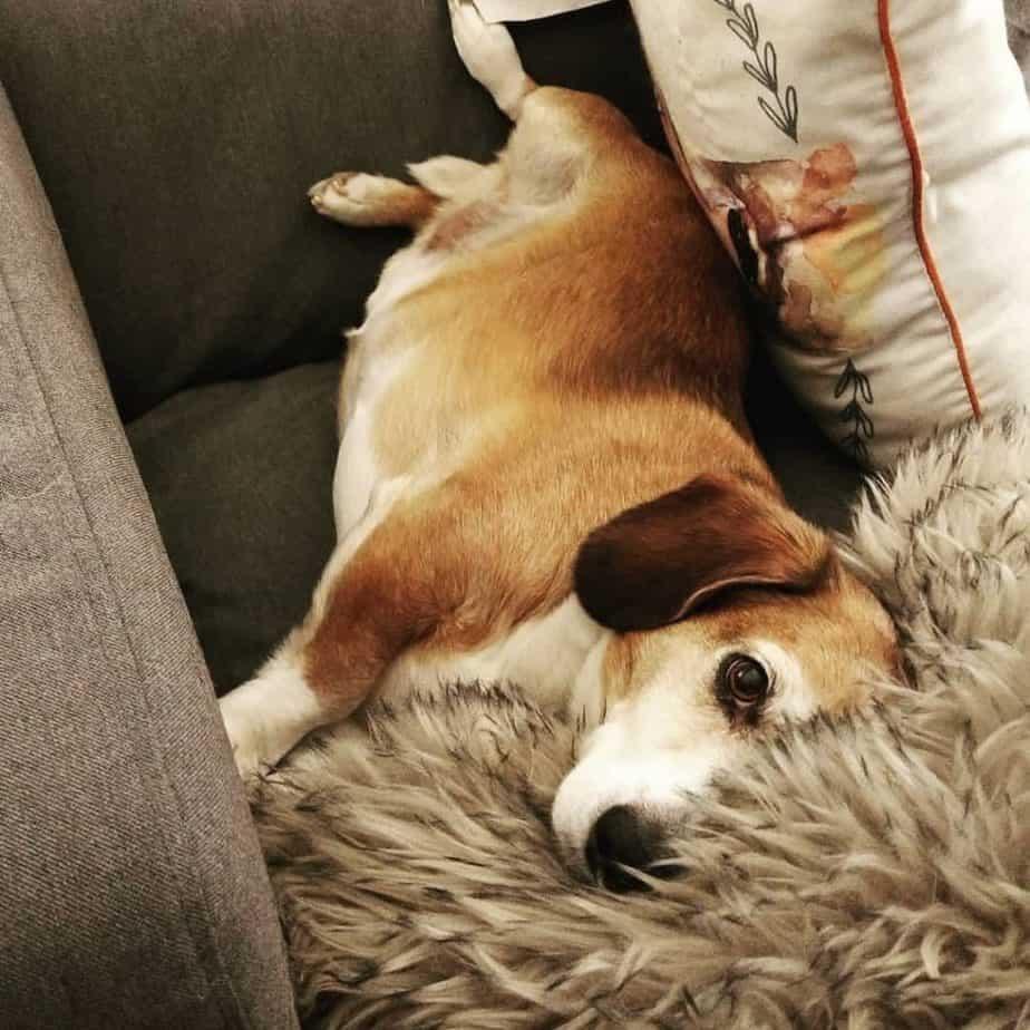 Beagle Basset Hound mix