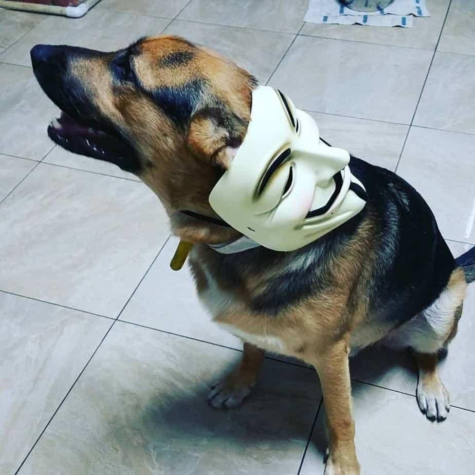German Shepherd crossed with Beagle