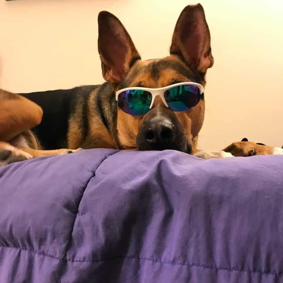 Beagle crossed with German Shepherd