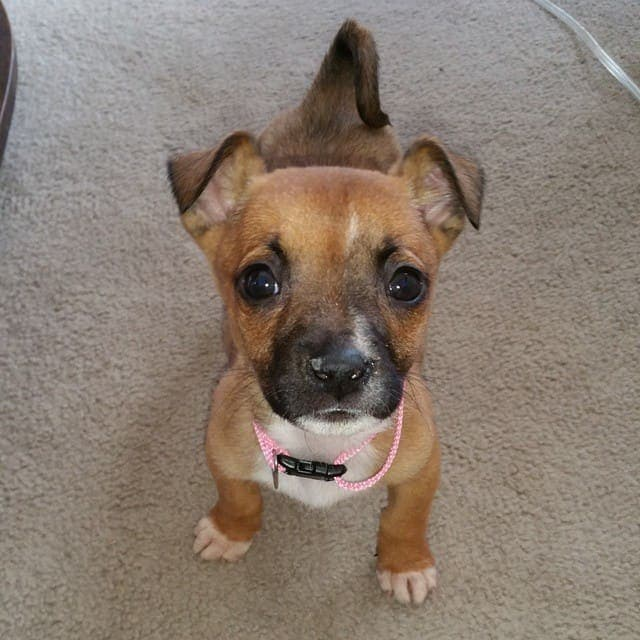 Chihuahua crossed with Pitbul