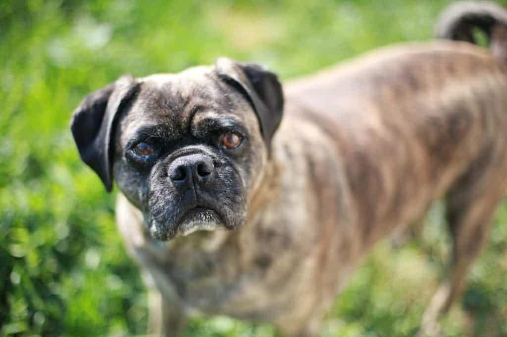 Pug cross Boxer