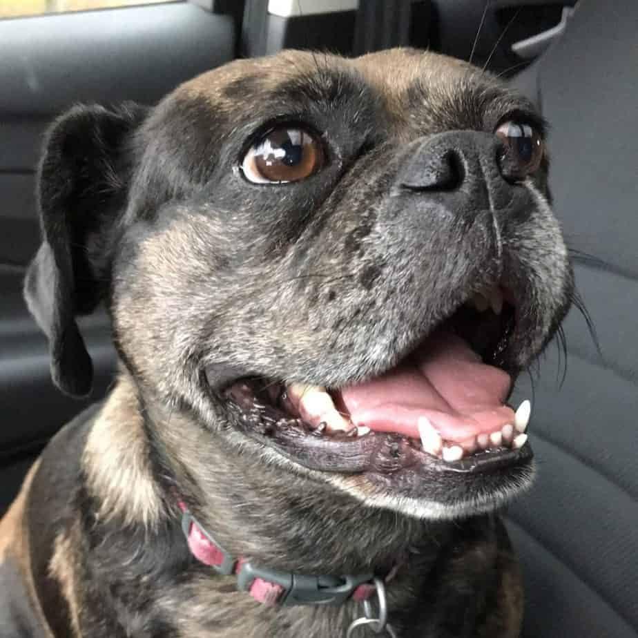 Boxer cross Pug