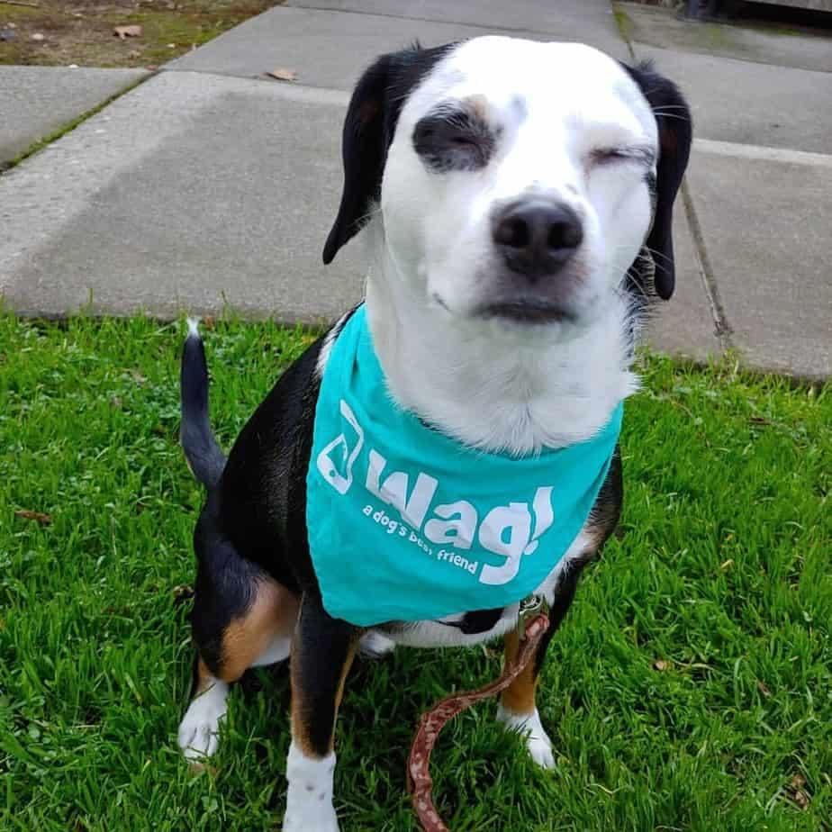 Beagle Chihuahua Crossbreed