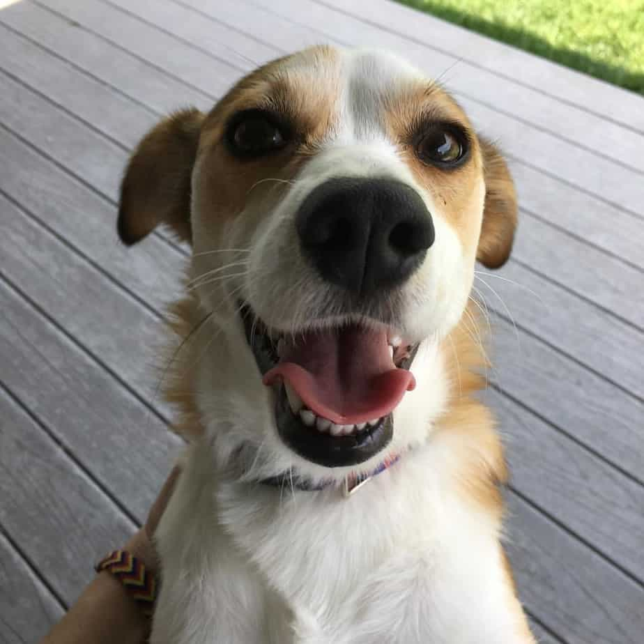 Chihuahua mixed with Beagle
