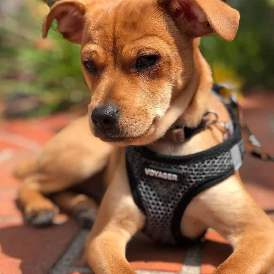 Chihuahua Beagles