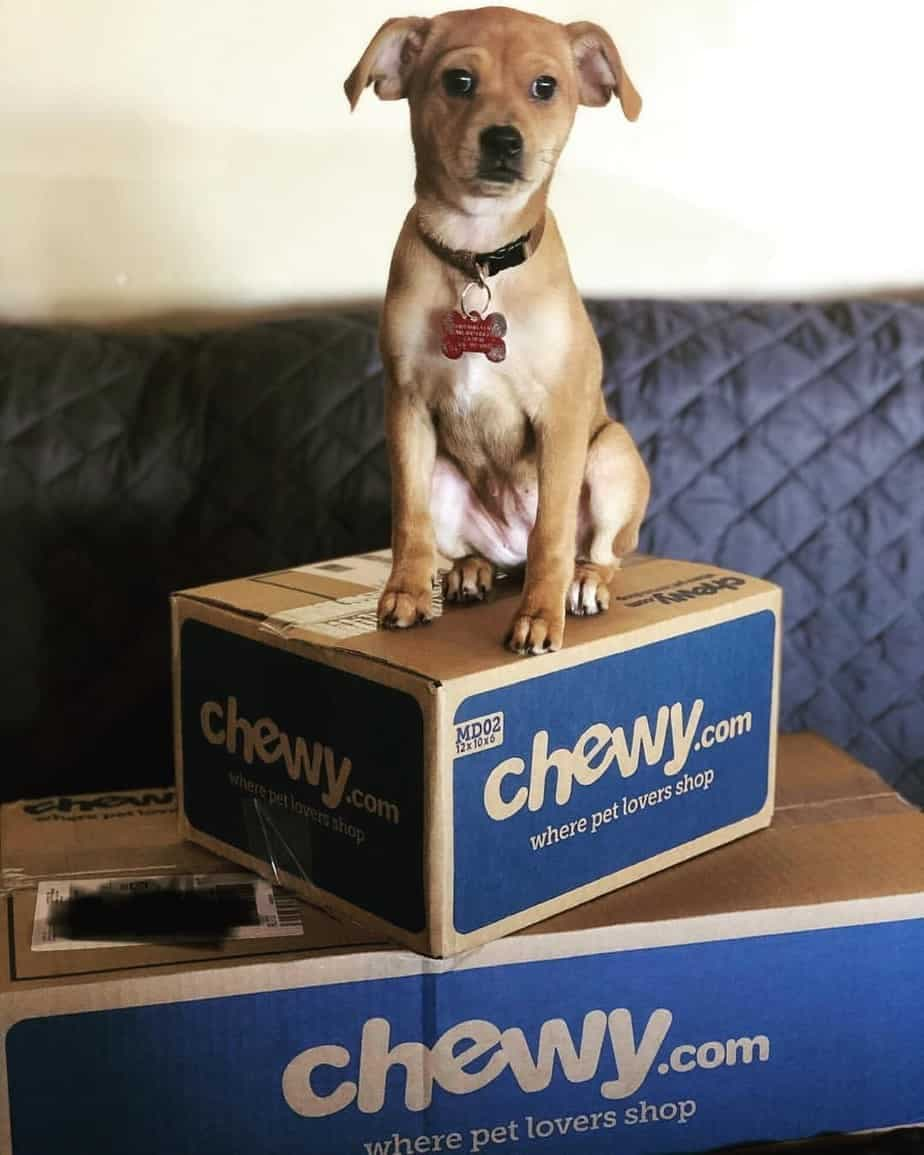 Beagle Chihuahuas