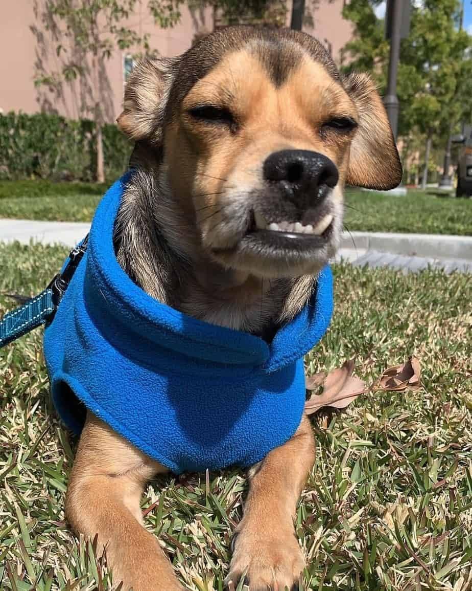 Beagle mixed with Chihuahua