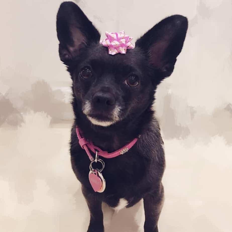 Chihuahua crossed with Corgi