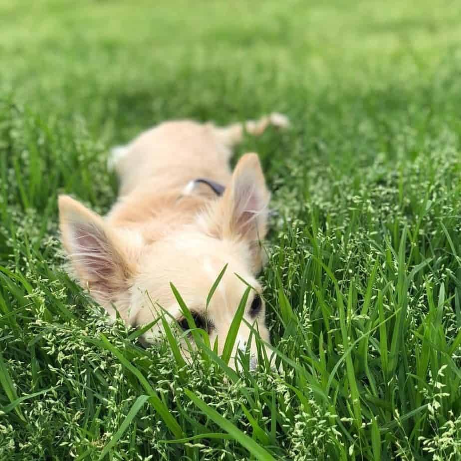 Corgi mixed with Chihuahua