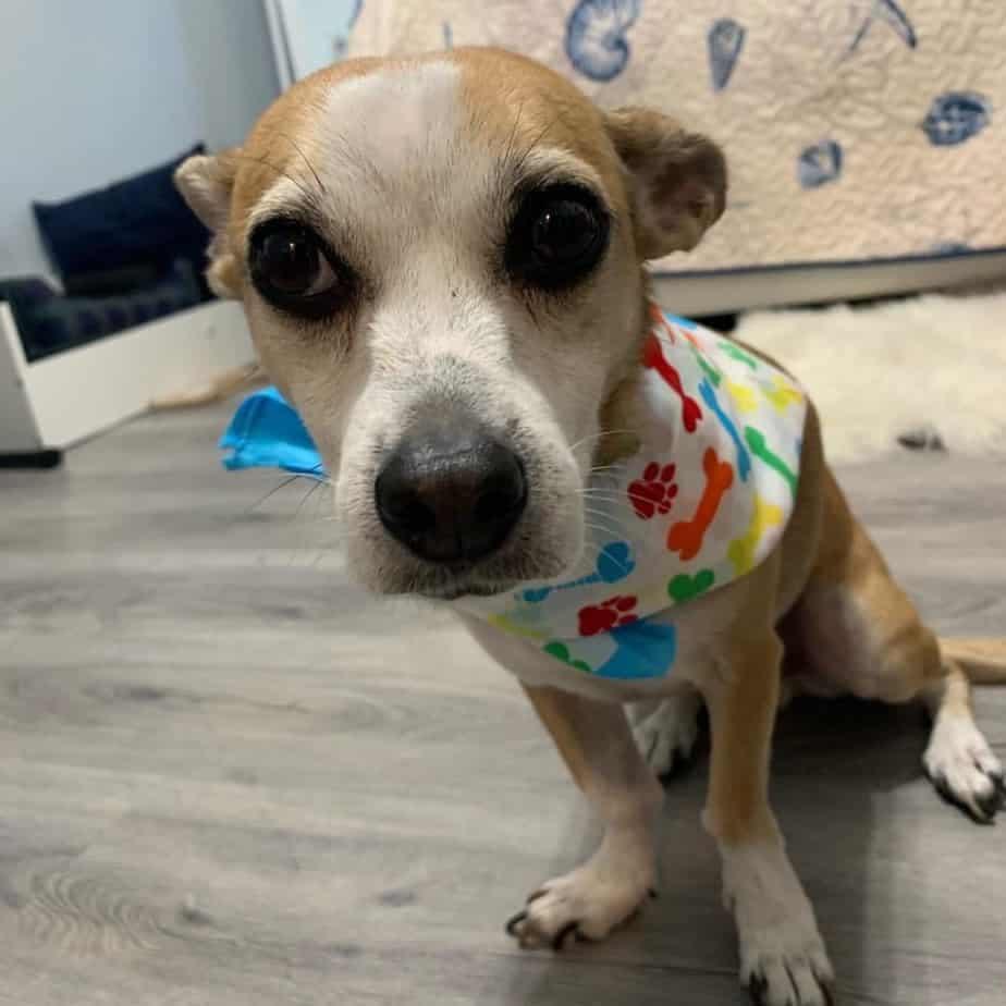 Chihuahua Corgis