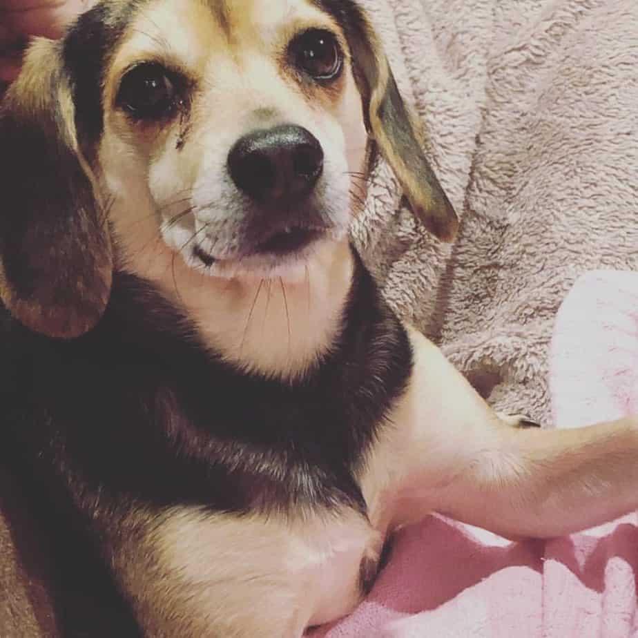 Beagle Dachshund Mix